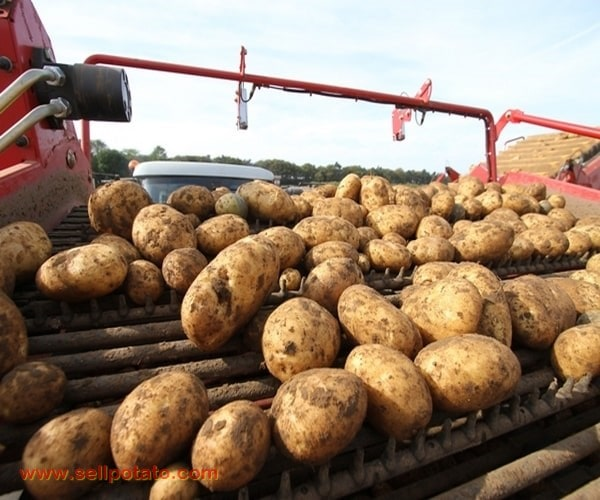 Buy exported potatoes directly