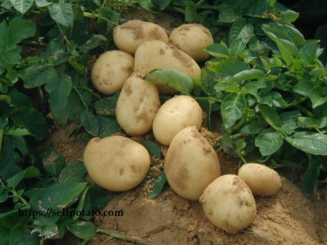 Sale price of potatoes in Iranian market