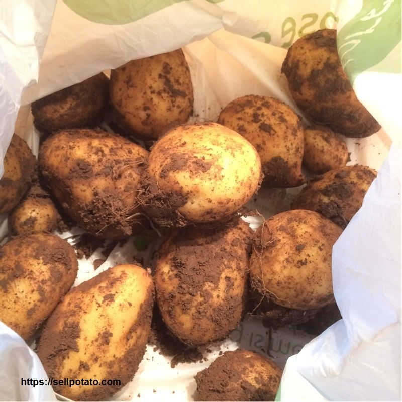 Learn about overseas potato sales and marketing